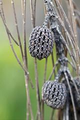 Swamp Oak cones