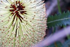 Old-man banksia - Banksia serrata