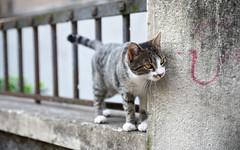 Croat Cat 2