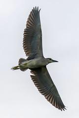 Black-Crowned Night-Heron Inflight