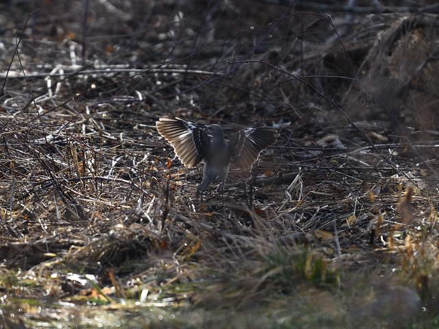 Northern Mockingbird Hunting