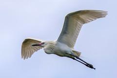 Morph Reddish Egret Inflight