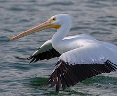 White Pelican Takeoff Closeup
