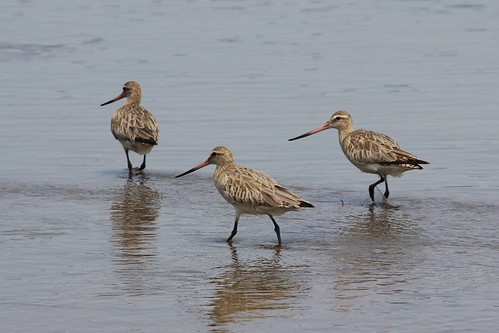 Bar-tailed godwits, Shoalhaven Heads
