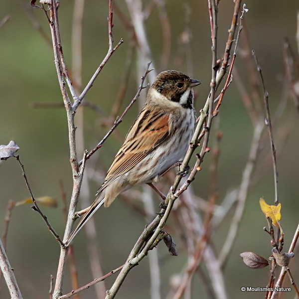 0S8A8205. Common Reed Bunting (Emberiza schoeniclus) M-ad