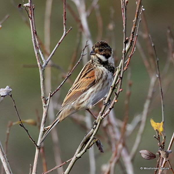 0S8A8201. Common Reed Bunting (Emberiza schoeniclus) M-ad