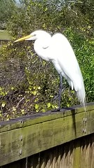 Great Egret @ Eagle Lake Park