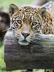 Head on the log