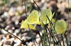Hoop petticoat daffodils
