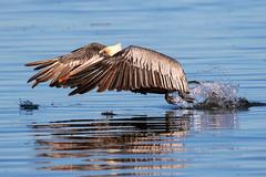 Brown Pelican Water Takeoff