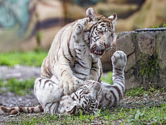 Tiger cubs cutely fighting