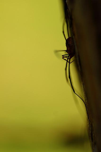Une ombre et des pattes - Opilion
