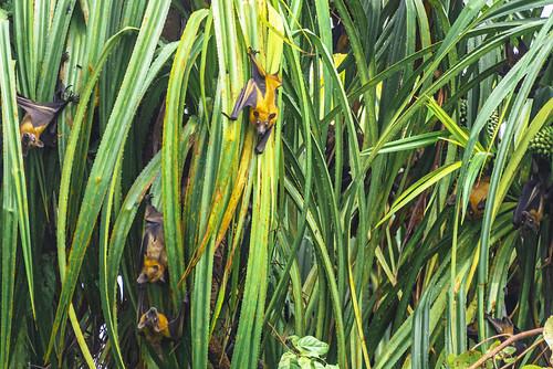 VOLPI VOLANTI SULLA PALMA DI COCCO   ---   BAT FRUIT ON THE COCONUT PALM