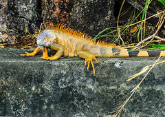 Martinique - Fort-de-France - Iguana