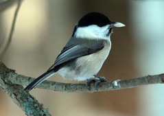 The willow tit on the branch.