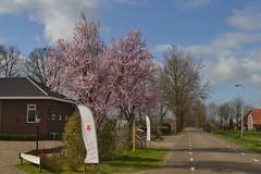 Roze boom in Dalmsholte (136FJAKA_3329)