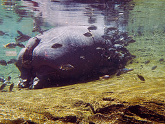 Memphis Zoo 08-29-2019 - Hippopotamus 4