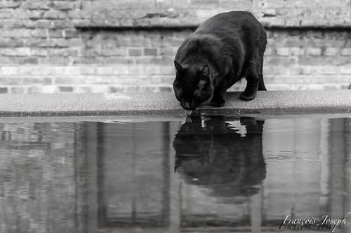 Le Chat Noir de Furnes / The black Cat of Veurne