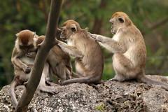 Macaque monkeys - Monkey Jungle  Homestead Miami Florida