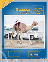 صور سباق الحيل والزمول (الأشواط المفتوحة) مهرجان الأمير الوالد صباح 28- 1-2020