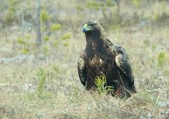 The lofty golden  eagle
