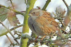 Day of the Dunnock  pt3