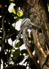 Paradise Flycatcher (M)