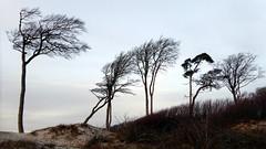 Pines in the dunes