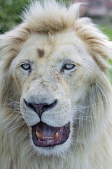 White lion close, with open mouth