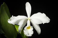 [Brazil] Cattleya warneri fma. alba 'Extra' T.Moore ex R.Warner, Select Orchid. Pl.: t. 8 (1862)