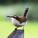 Rufous-naped Wren by Trevor Chapman