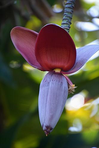 Banana flowering in full color