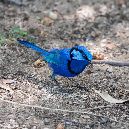 Splendid Fairy-wren (Malurus splendens Ssp splendens)