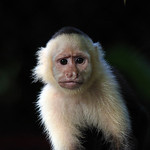White-faced Capuchin by Trevor Chapman