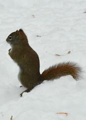 Brown Squirrel, Drummond Island, Michigan
