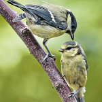 Great Tit Comforting Young by Andrew C M Chu