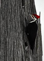 Pileated Woodpecker, Drummond Island, Michigan