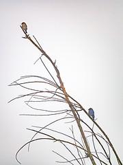 Bluebirds in the fog