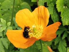 Fuzzy dark bee on orange poppy