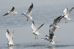 Gulls Scrambling for Food