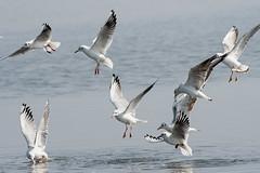 Gulls Scrambling for Food
