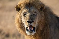 Lion (Panthera Leo) Løve