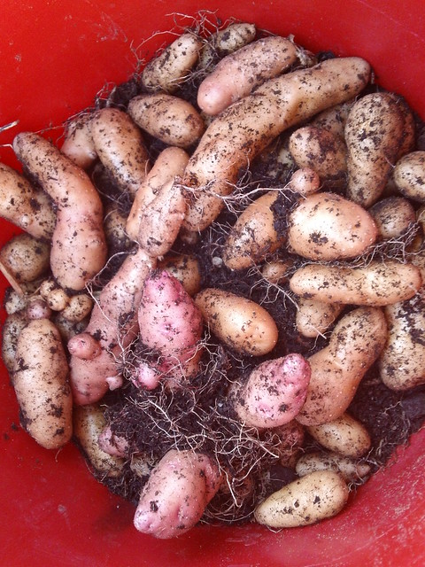 pink fir apple heirloom potato