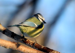 The blue tit in shadows,,