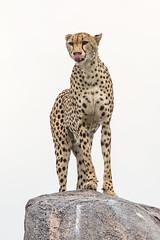 Cheetah (Acinonyx jubatus) Gepard