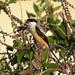 Long-tailed Shrike _ PRP