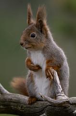 Red squirrel or Eurasian red squirrel (Sciurus vulgaris) Ekorn