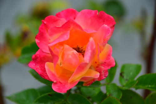 Tito`s Rose.