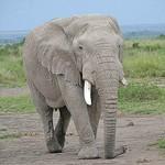 elephant in maasai mara by Alex Mullen