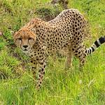 cheeta in maasai mara by Alex Mullen